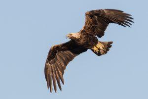 Pokrenuta kampanja za očuvanje simbola Srbije – orla krstaša